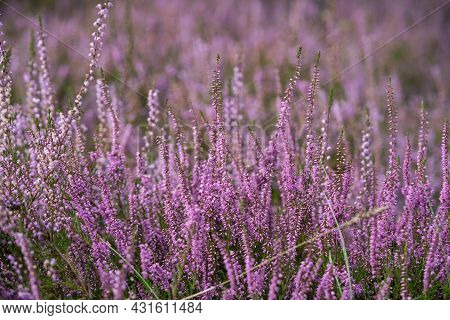 Lush Bright Bunches Of Blooming Heather, Wild Meadow, Incredible Wildlife