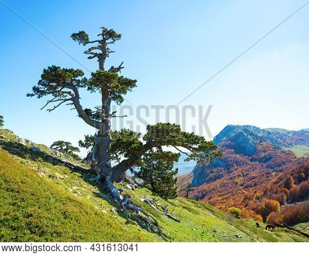 Bosnian pine on Serra di Crispo mountain (Garden of Gods), Pollino National Park, southern Apennine Mountains, Italy.