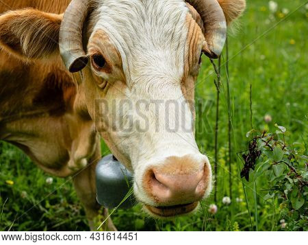 Close-up Of A Cows Head. On The Neck Hangs A Bell. The Ends Of The Horns Are Cut Off. In The Backgro