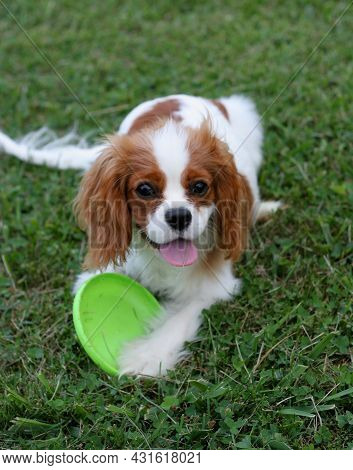 King Charles Cavalier Spaniel Puppy Happily Playing With Toy Flying Disk