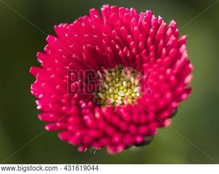Close-up Of A Red Daisy, Photographed From Above Bellis Perennis, The Beautiful Bright Red Meadow Da