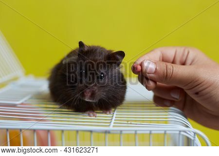A Syrian Hamster Sits On Its Cage And Takes Food From The Owner's Hand.