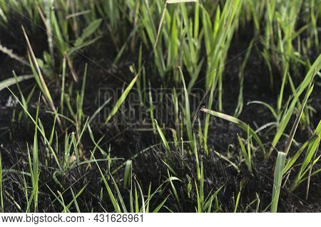 Green Grass Growing On Scorched Earth After A Fire