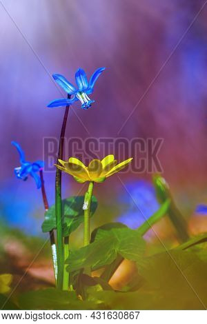 Beautiful Nature Scene With Spring Flowers. Blue Spring Flower Scylla Siberian, Siberian Goose Foot,