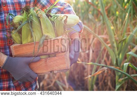 Farm Worker Holds Wooden Crate Of Corn Cobs In His Arms