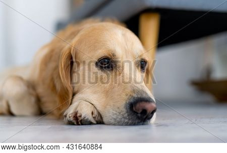 Golden retriever dog lying on the floor and looking back with kind eyes. Closeup portrait of adorable purebred pet doggy indoors
