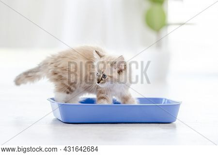 Lovely fluffy white ragdoll cat sitting in the blue toilet tray in light room and looking at the camera. Beautiful purebred feline pet outdoors makes pee