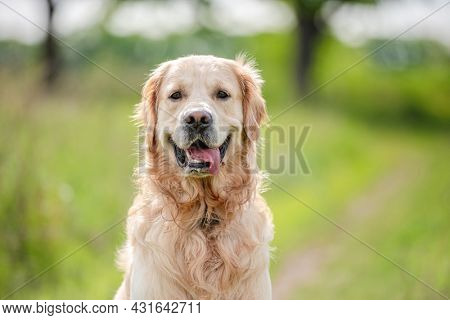 Adorable golden retriever dog sitting and looking at camera outdoors in green grass at the nature in summer time. Beautiful closeup portrait of doggy pet outside with blurred background