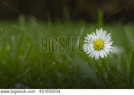 Close Up Of Blooming Daisy Flower (bellis Perennis) In Garden On Spring Time. Lawn Daisy Or English