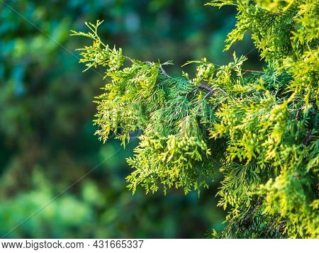 Thuja Branches In Spring. Fresh Thuja Branches In The Sunset Light. Spring Background.