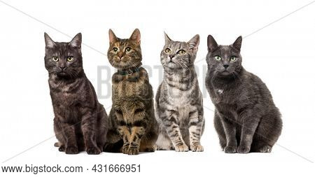 Large group of crossbred domestic cats sitting in a row, pets, isolated on white