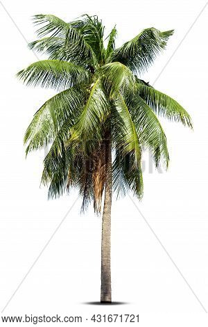 Coconut Palm Tree Isolated On White Background, Palm Tree Against White Background.