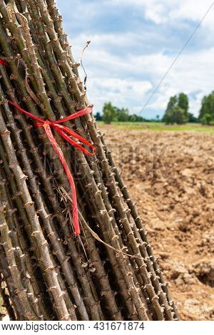 Stalk Cassava Prepared For Planting, Asia, Natural
