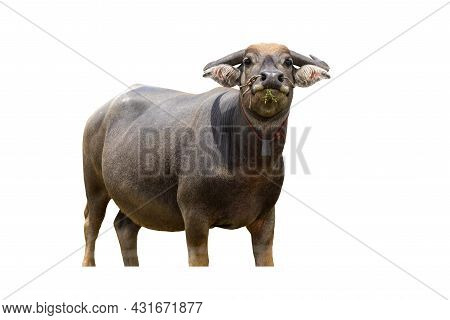 Agriculture Swamp Buffalo Isolated On White Backgrounds