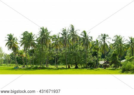 Line Up Of Coconut Tree Isolated On White Background.