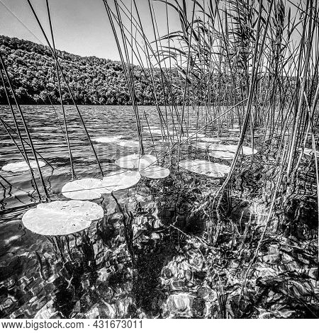 Black and white image of Water lilies and others plants on water surface of Lac du Val, jura France