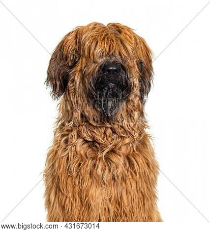 Head shot of a Fawn Briard dog isolated on white