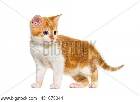 Kitten Mixed-breed cat ginger and white, Isolated on white
