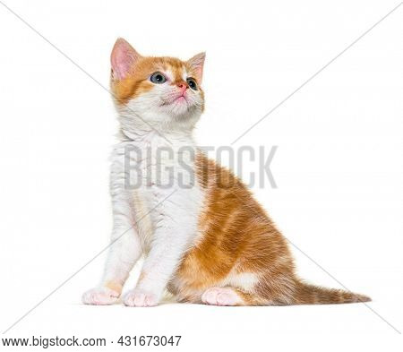 Looking up Kitten Mixed-breed cat ginger and white, Isolated on white