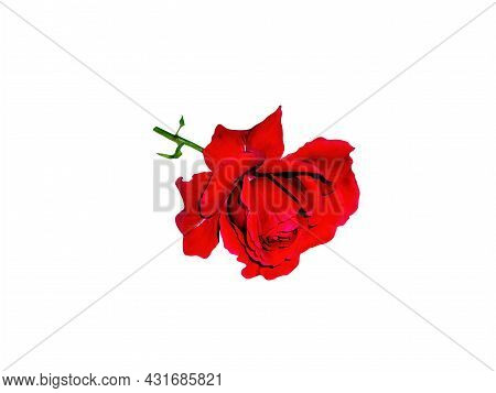 Red Rose Flower With Green Leaves On A White Background. Red Rose. Blooming Flower. Valentine's Day.