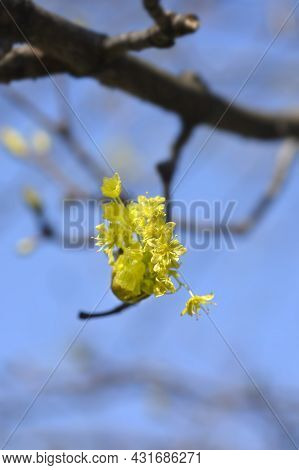 Norway Maple Branch With Flower - Latin Name - Acer Platanoides