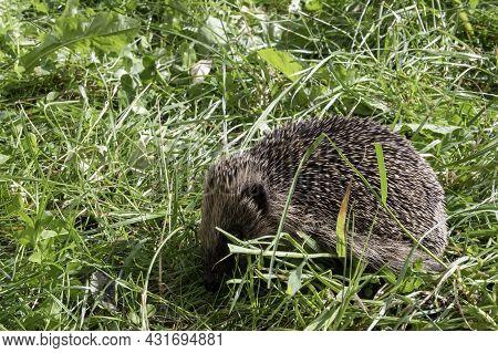 European Hedgehog (erinaceus Europaeus), Also Known As The West European Or Common Hedgehog