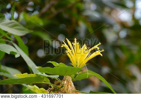 The Yellow Flower Blooms In The Rainforest