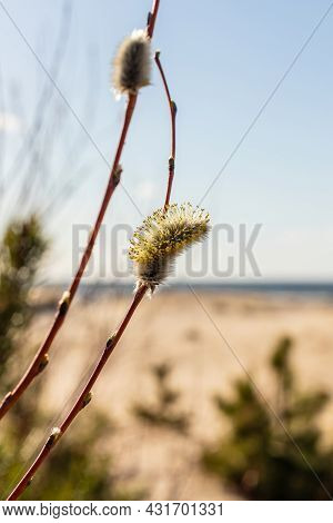 Vertical Photo Of Blooming Great Sallow Catkins At Seaside During Sunny Day. Close Up View To Twigs