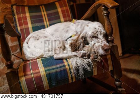 Tranquil purebred English Setter dog sleeping peacefully in old fashioned wooden armchair with checkered upholstery in cozy room with retro style