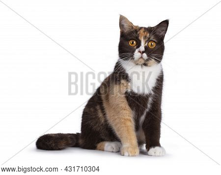Pretty Chocolate Tortie With White British Shorthair Cat, Sitting Facing Front. Looking Towards Came