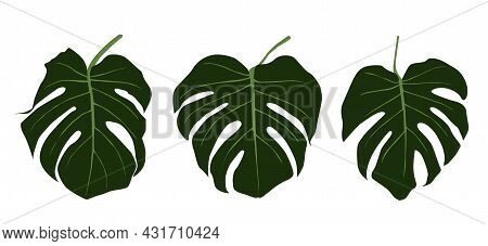 Set Of Monstera Leaves. The Design Of The Illustration Of The Vector Template Of The Monstera Sheet