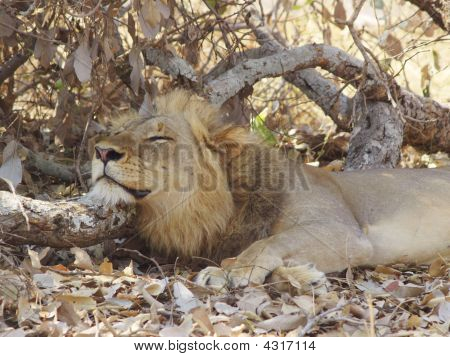 Lazy Male Lion, Luangwe Park