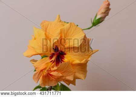 Delicate Yellow Or Peach Chinese Rose Close Up, Pistil And Stamens