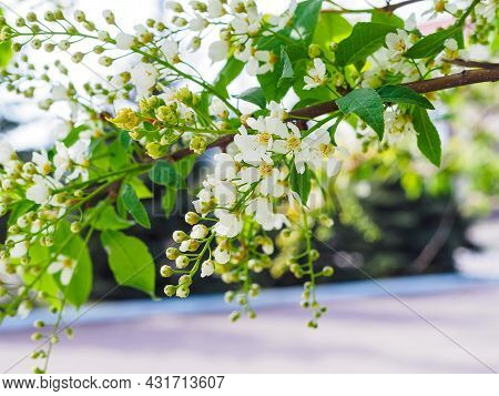 Beautiful Branch Of Blooming Bird Cherry In The Park Close-up