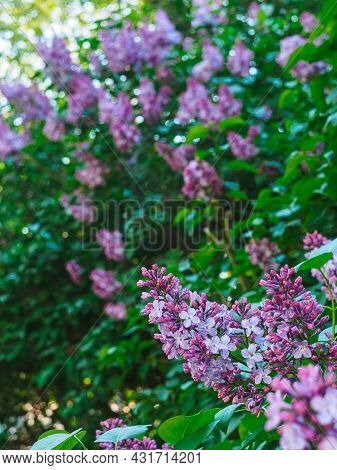 Branch Of Blooming Lilacs In The Garden Close-up