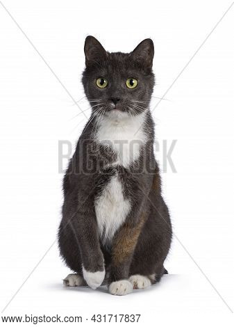 Extremely Rare Male Tortie Cat, Sitting Up Facing Front, Looking Frisky Towards Camera. Isolated On