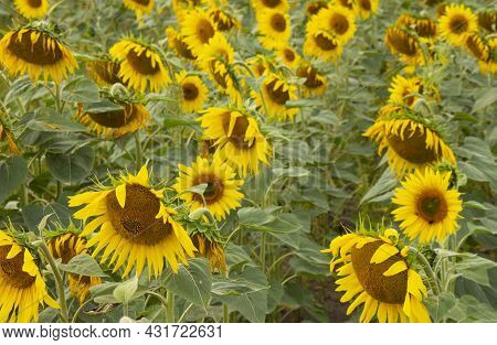 Sunflower Blooms In The Field. Sunflower Natural Background. Blooming Sunflower.