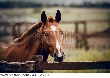 Portrait Of A Red Horse With A White Stripe On The Muzzle, Walking In The Levada. Sporty Young Stall
