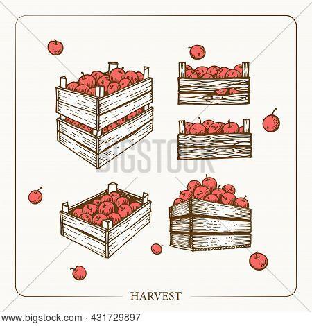 Harvest Apples In Wooden Crates. Vintage Sketch Garden Background. Hand Drawn Design. Vector Illustr