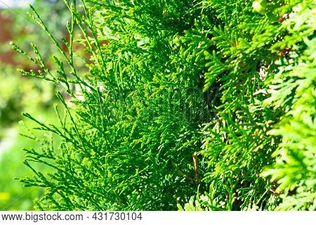 Thuja Evergreen Coniferous Plant Outdoors. Hot Sunny Summer Day. Selective Focus. Close-up