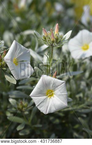 Shrubby Bindweed Flowers - Latin Name - Convolvulus Cneorum