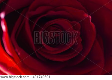 Red Rose Flower Bud Close-up Background Texture