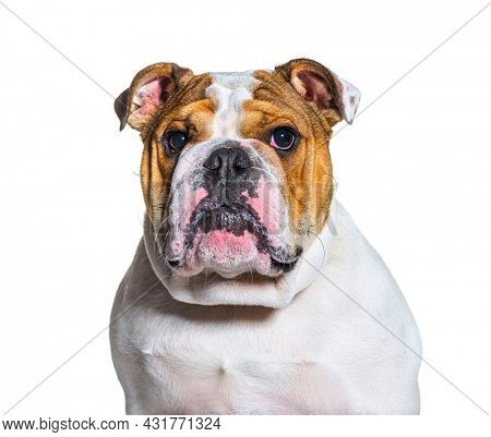 brown and white english Bulldog head shot portrait in front of a white background