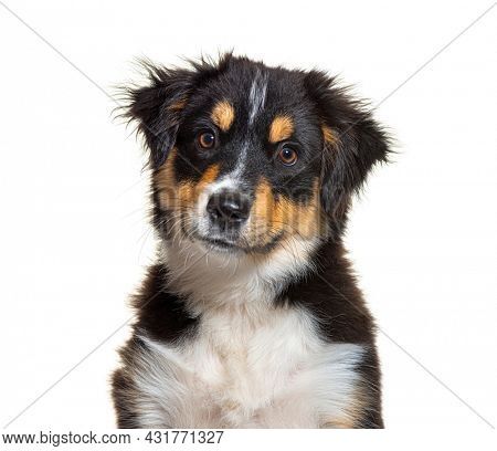 Portrait of Black and tan Puppy Miniature American Shepherd dog, fourteen weeks old