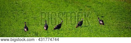 Wisconsin Hayfield With Wild Turkeys Feeding In August, Panorama