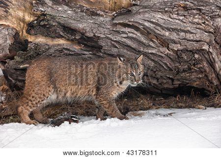 Bobcat and Bobwhite quail