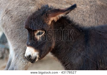 Foal, Baby Donkey