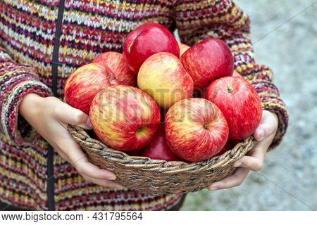 Hands Of Young Girl Are Holding Wicker Basket Full Of Organic Red Ripe Autumn Apples. Seasonal Fruit