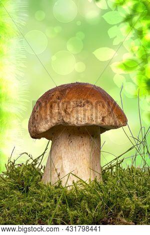 The Porcini Mushroom (boletus Edulis), Also Known As Spruce Porcini Mushroom, Gentlemen's Mushroom O