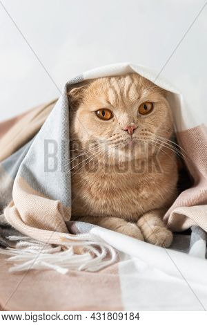 Cute Ginger Kitten Is Resting In Soft Blanket On White Background And Looking At Camera. Cozy Autumn